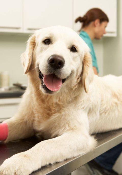 Female Veterinary Surgeon Treating Dog In Surgery